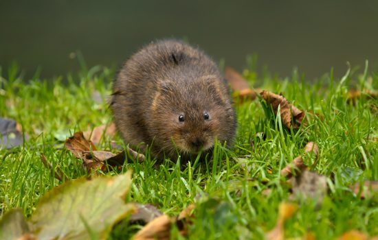 Water Vole on river bank in Sussex, England